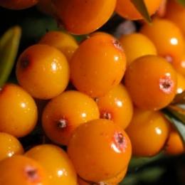 Cătina, un super-fruct care nu trebuie să lipsească din alimentaţie