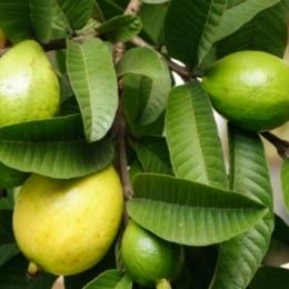 Frunzele de guava, indicate pentru podoaba capilară