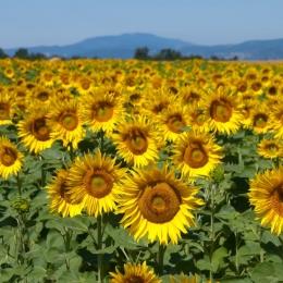 Semințele de floarea soarelui ajută la întărirea imunității